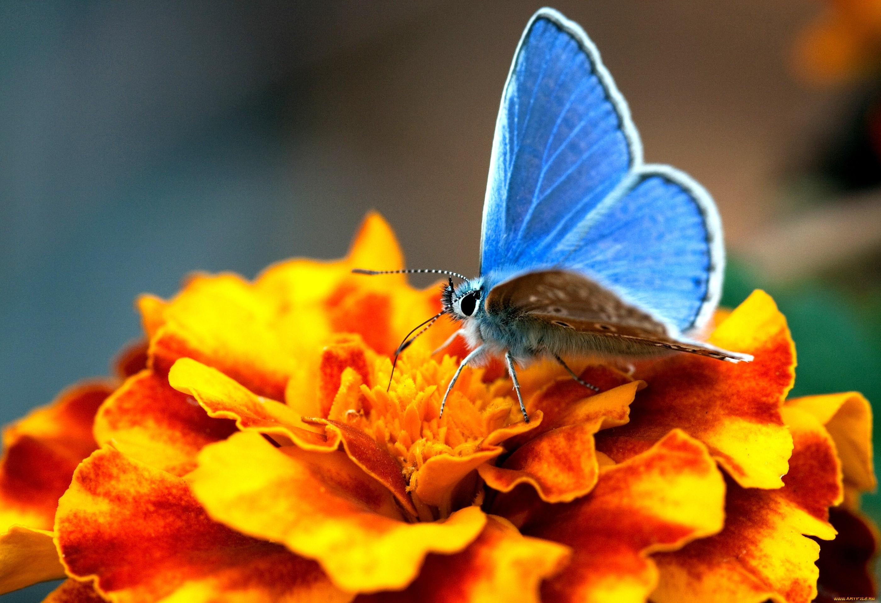 голубянка, бабочка, цветок, оранжевый, макро.